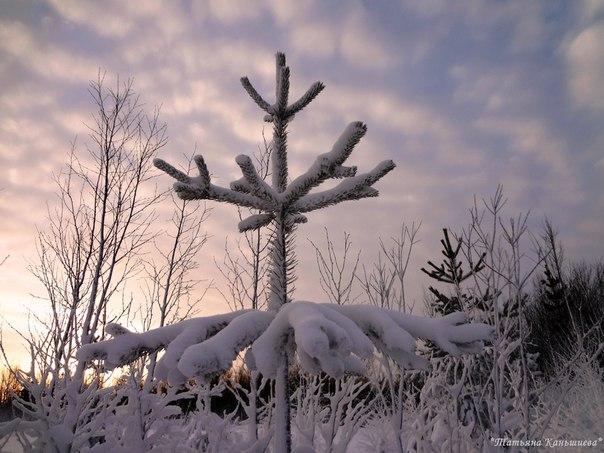 Величавая и гордая снежная ёлочка на солнечном закате дня. Фото Т. Каньшиевой