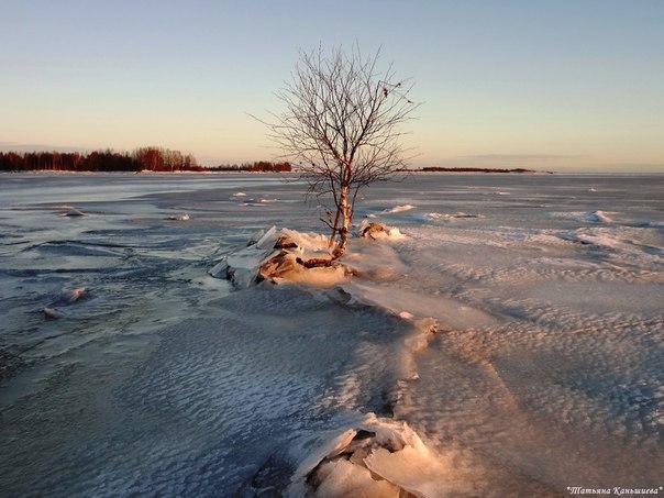Обняла зима березку холодным покрывалом льда. Фото Т. Каньшиевой
