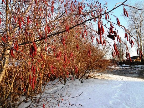 Серёжки ольховые в лучах апрельского заката. Фото Т. Каньшиевой